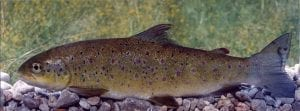 softmouth trout