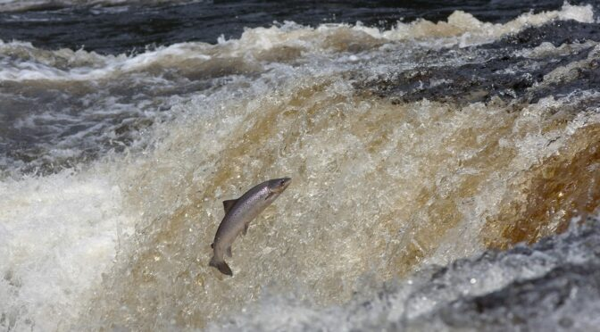 Historic Deal for North Atlantic Salmon