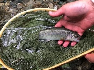 trout in japan