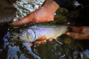 brook trout in south tyrol
