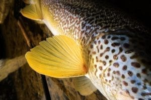 marble trout detail colouring