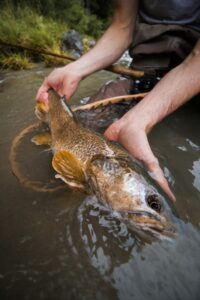 Marble Trout release