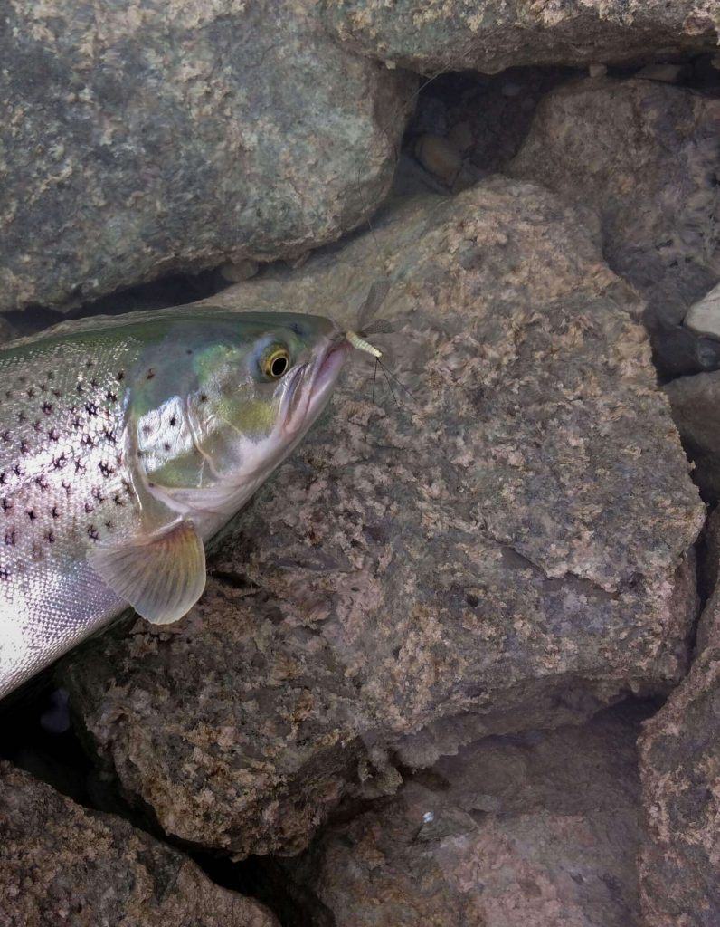 Lake trout with may fly