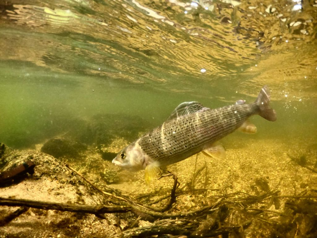 Small Stream Fly Fishing Grayling underwater