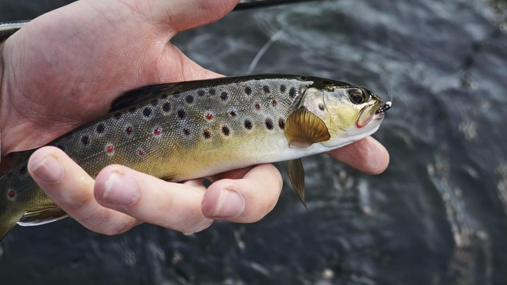 Brown trout with nymph in hand