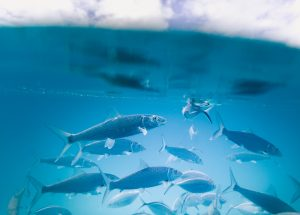 What is Fly Fishing? A Group of Bonefish