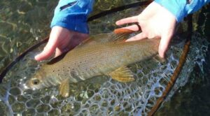 Arctic Grayling release