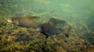 Two Arctic Grayling Spawning