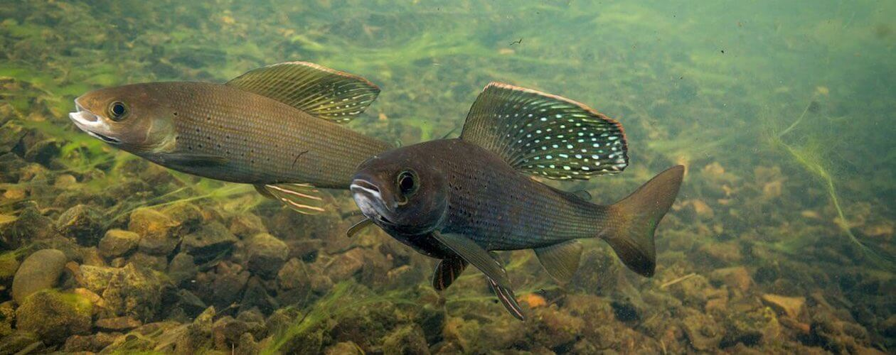 Arctic Grayling under water