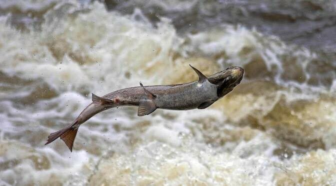 How the ASCF Uses a $30m Trust to Save Canadian Salmon