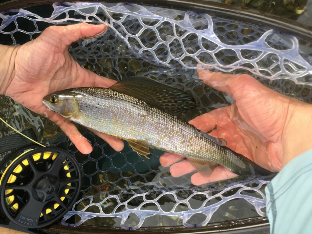 Small Arctic Grayling
