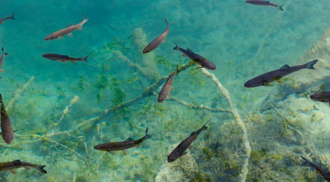 Freshwater Fish – Overlooked and Underfunded